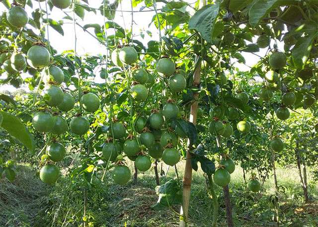 Dak Nong: It is recommended not to massively increase the area of lemon tree planting