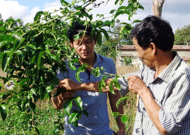 Vườn chanh dây nhà ông Đỗ Văn Thủy vẫn không ra quả dù đã trồng 7 tháng