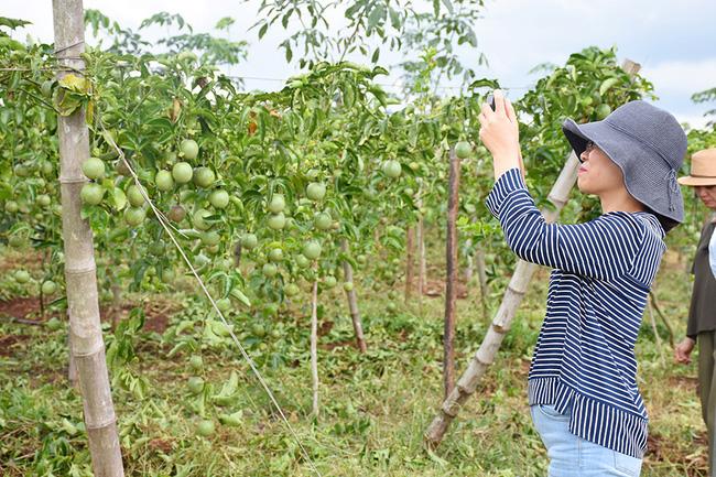 Chanh dây – cây trồng phát triển mạnh tại Tây Nguyên