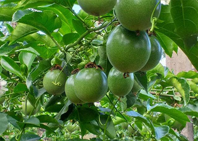 Chanh leo xuất khẩu - cây làm giàu cho người dân Sơn La