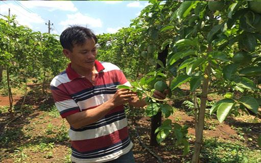 Đắk Lắk: Thu nhập cao từ cây chanh dây