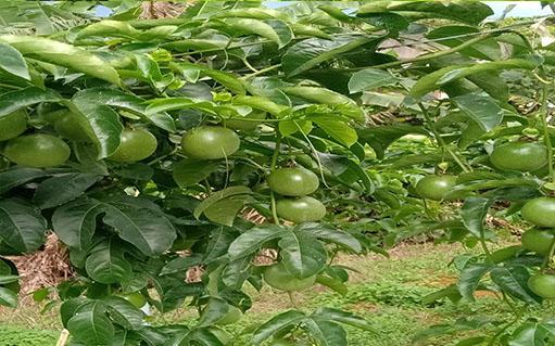 Xuất khẩu chanh leo sẽ tăng 30%: Kỳ vọng vào cây trồng mới